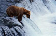 Bear Hunting at Waterfall